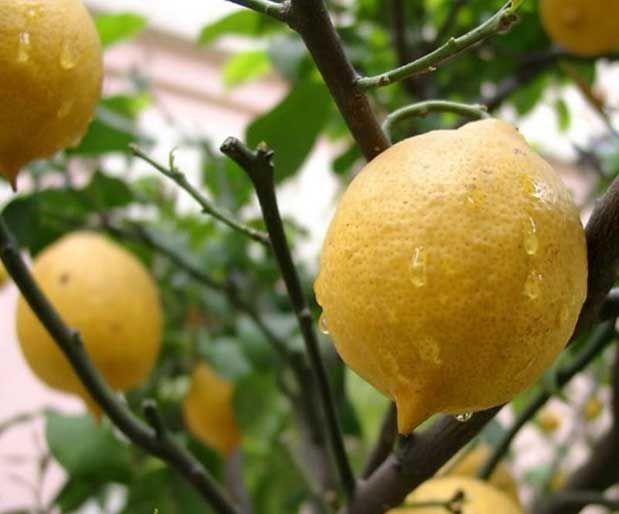 Siğillerden ve Sivilcelerden Limon Yağı ile Kurtulun! | Bitkiblog.com