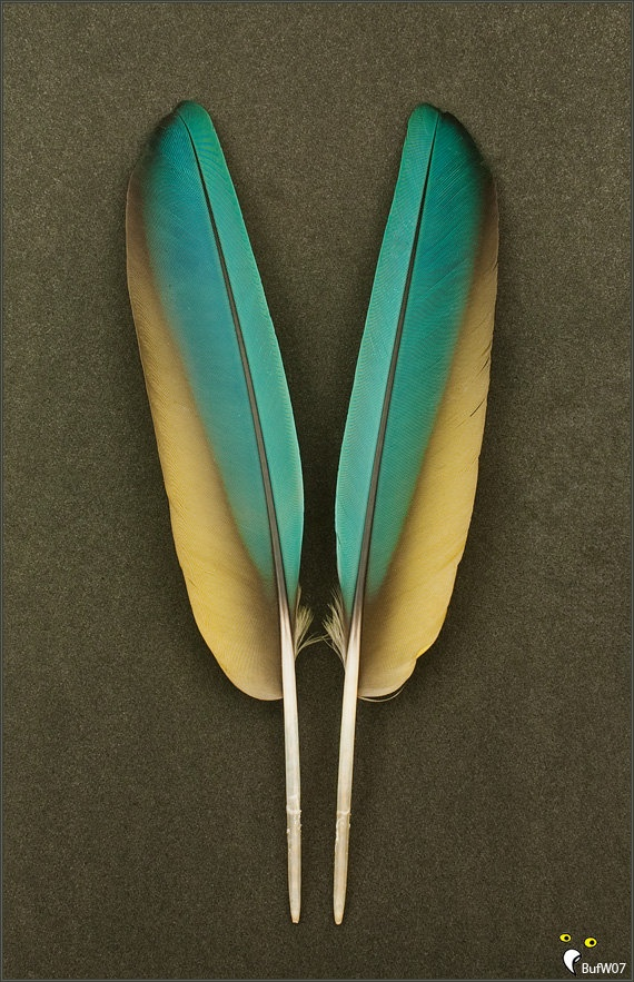 Macaw feathers in brilliant blue-green, swiped with an edge of earthy-toned yellow and a touch of burnishing at the edges, set on a deep concrete-brown surface.