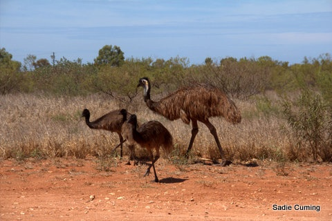 Daddy Emu and his chicks, Exmouth, Western Australia - they can run fast.