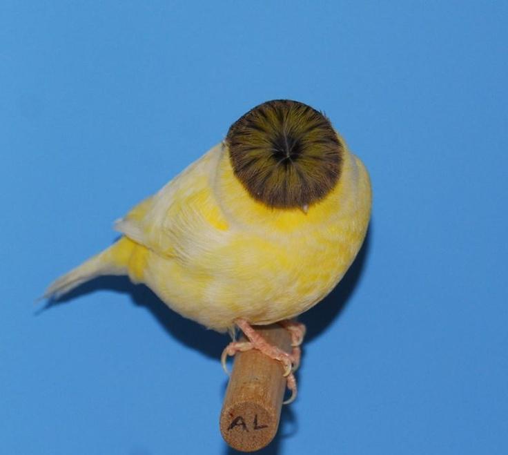 Gloster Canary Canary Birds Bird Aviary Outdoor Wicker