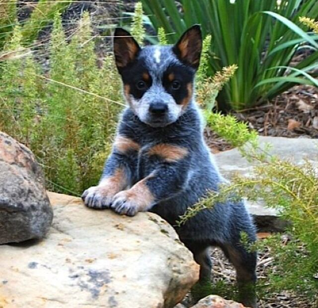 89 best australian cattle dogs images on pinterest. Black Bedroom Furniture Sets. Home Design Ideas