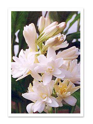 Angélica Polianthes Rosa Flor De Corte Vendida Na Holambelo Por R 7 White Flowersmarriageplantssitecupgardeninglandscapesbeauty