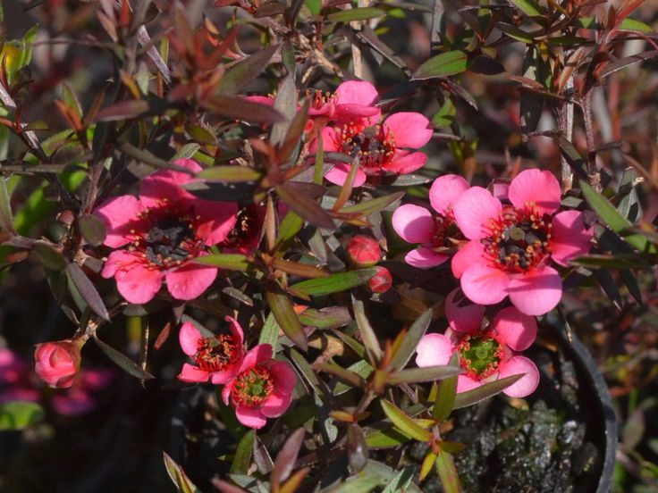 Leptospermum Nanum Rubrum - Meredith Nursery