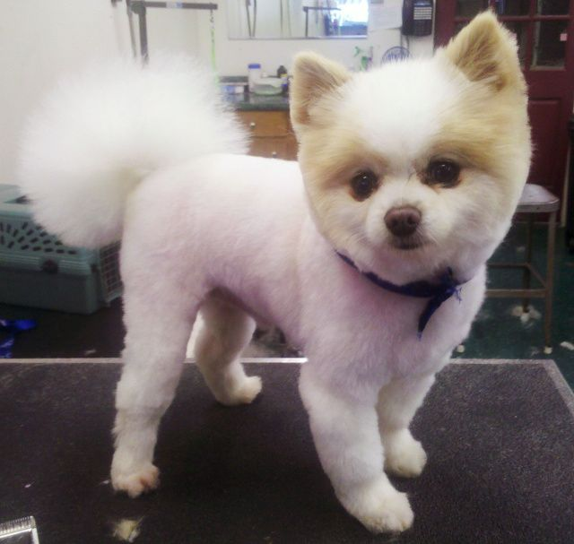 puppy cut pomeranian pomeranian haircuts styles boo qycyqiryj love this 9729