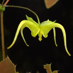 Epimedium lishihchenii -- freakishly cool.: Epimedium Lishihchenii
