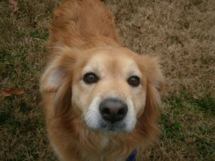 This is Penny an approx 3-5 year old Golden mix. She came to rescue from a shelter. She walks well on leash, gets along with other dogs and took treats gently. She is looking for a forever home and is at Tennessee Valley Golden Retriever Rescue.