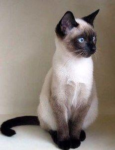 Kelebihan dan Kekurangan Kucing Siam - http://kucingraas.co.id/kelebihan-dan-kekurangan-kucing-siam/