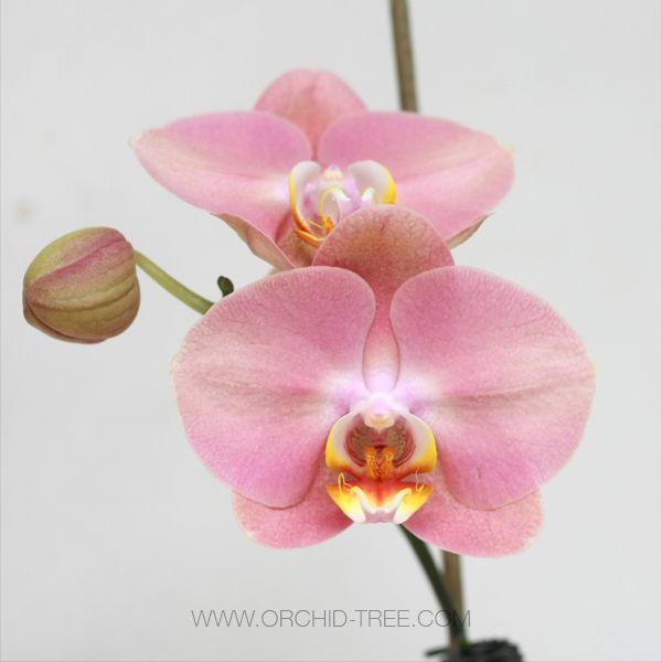 Phalaenopsis Elegante Phalaenopsis Orchid Dendrobium Orchids Cascading Flowers