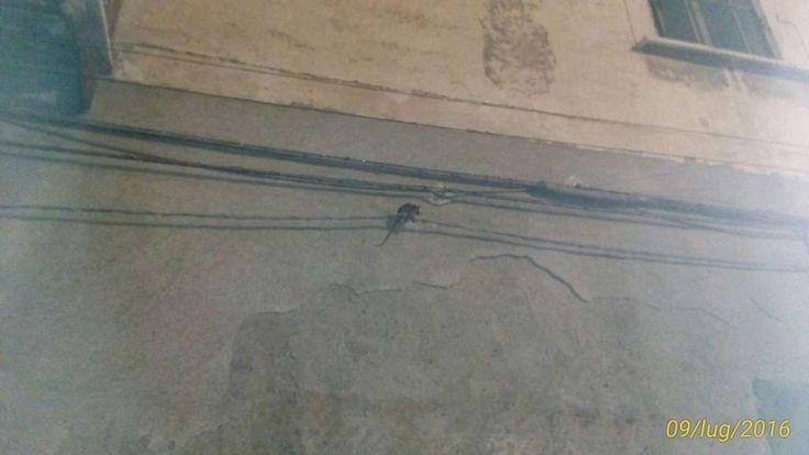 """LE FOTO. Enormi ratti popolano Coccagna e """"passeggiano"""" indisturbati anche sui muri delle abitaizoni, nelle quali potrebbero entrare dalle finestre aperte. E' allarme a cura di Redazione - http://www.vivicasagiove.it/notizie/le-foto-enormi-ratti-popolano-coccagna-passeggiano-indisturbati-anche-sui-muri-delle-abitaizoni-nelle-quali-potrebbero-entrare-dalle-finestre-aperte-allarme/"""
