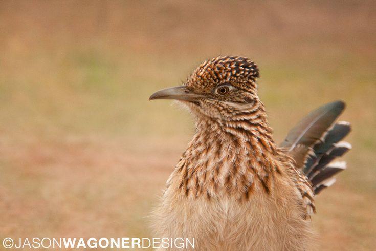 Greater Roadrunner in desert. Bird photo.