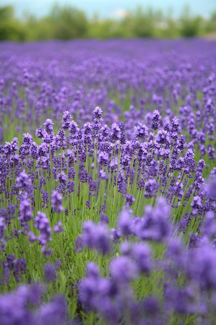 Lavender Farm, Hokkaido, Japan By Nakae