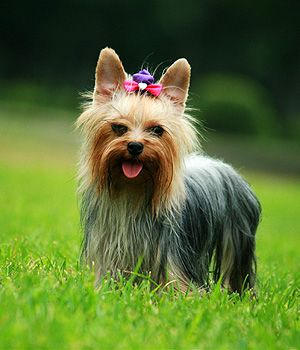 Yorkshire Terrier. Get a Free Consultation for your #small #dog #breed from our Friends at Nature's Select http://naturalpetfooddelivery.com/nsd/usa/free-consultation/