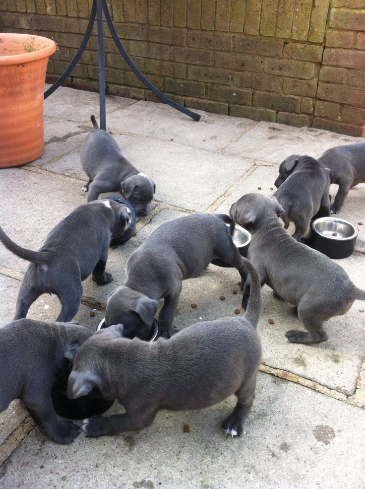 Blue Staffordshire Bull Terrier Puppies For Sale