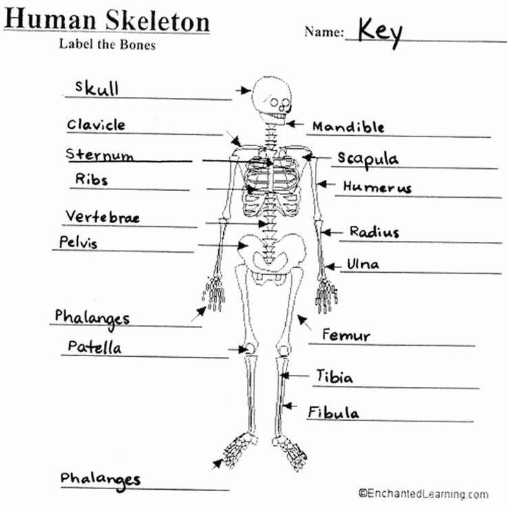 50 Skeletal System Worksheet Pdf in 2020 (With images ...
