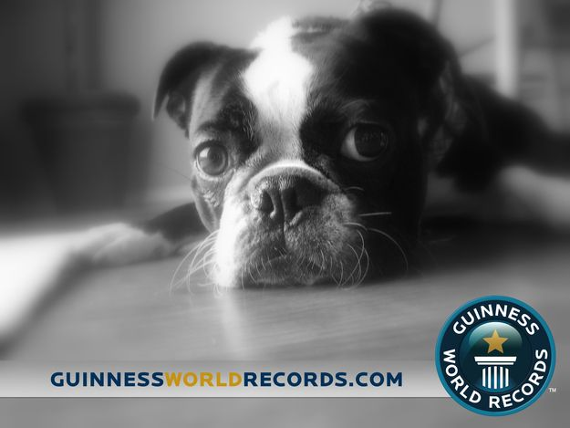 Boston Terrier wins Guinness Book Record for World's largest eyes!