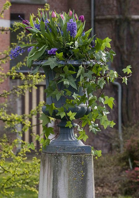stunning spring urn... tulips, hyacinth, and ivy I must consider for my spring urn. Maybe sub some pansies in