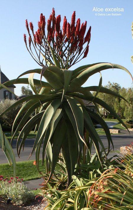 Aloe excelsa