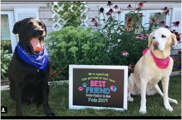 Dog Eats Gender Reveal Cake To Share The Big News Video Petguide Baby Gender Reveal Dog Baby Announcement Gender Reveal
