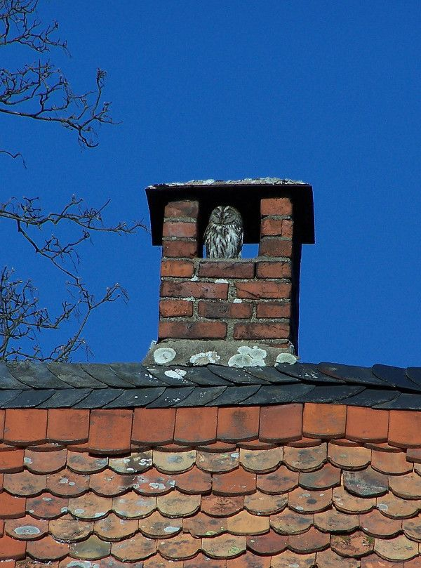 Sunbathing owl