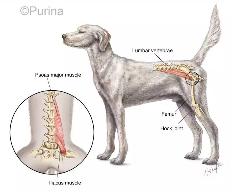 Pin By Emely Cale On Veterinary In 2020 Dog Anatomy Animal Science Veterinary