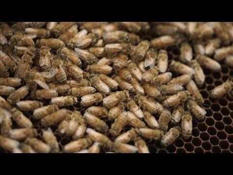 Bee Killers: Using Phages Against Deadly Honeybee Diseases - YouTube