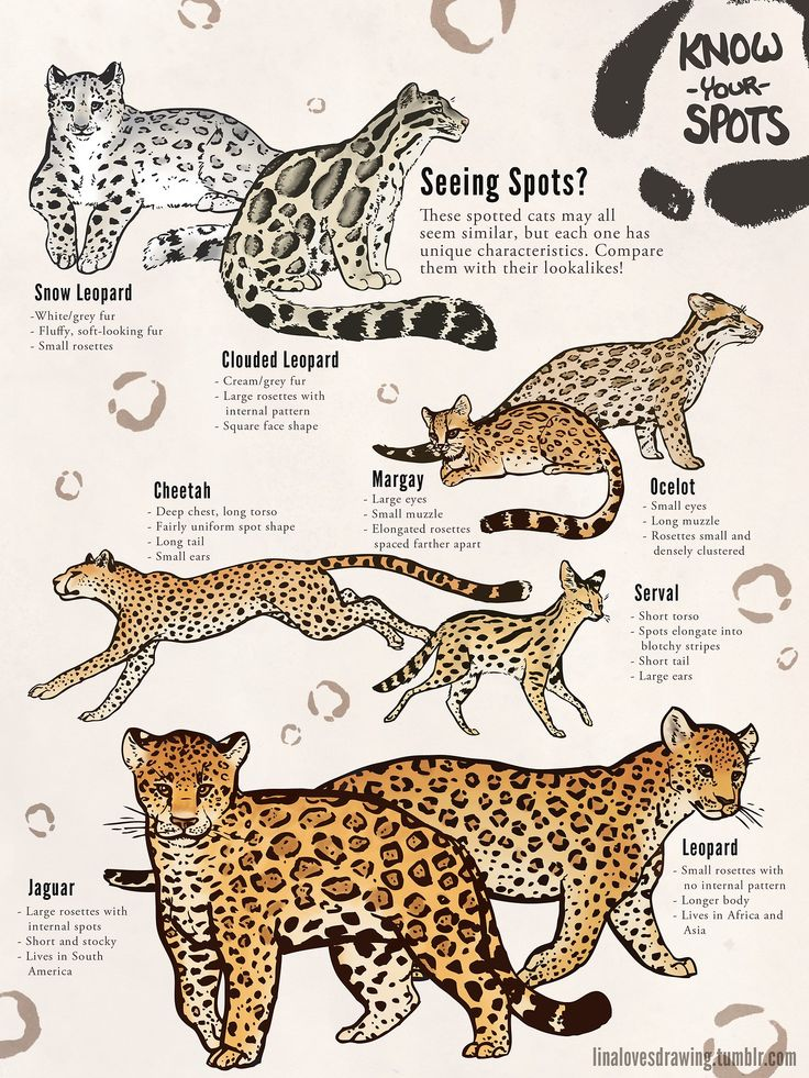 Best 25 Jaguar Animal Ideas On Pinterest Jaguar Jaguar