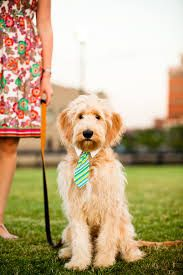 doodle dog bow tie - Google Search