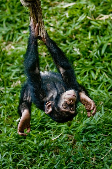 funnywildlife: Swinging upside-down Chimp by Evan Animals on Flickr.#Cute#Nature#Photo