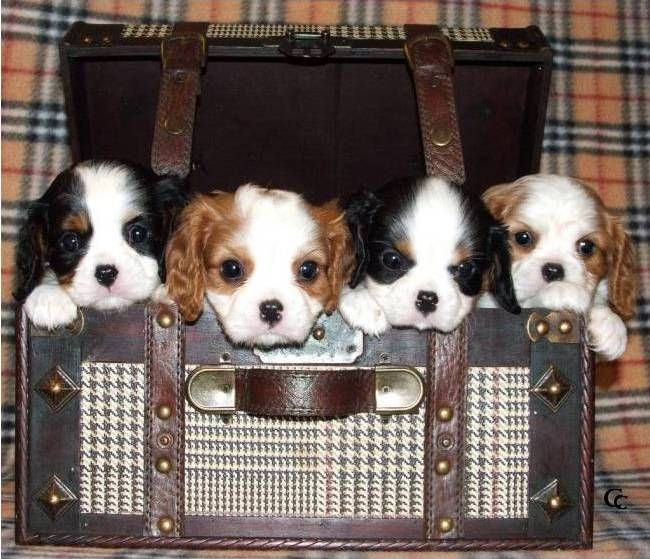 Cavalier King Charles Spaniels in a box!  Looks like a package deal...I'll just have to take them all.