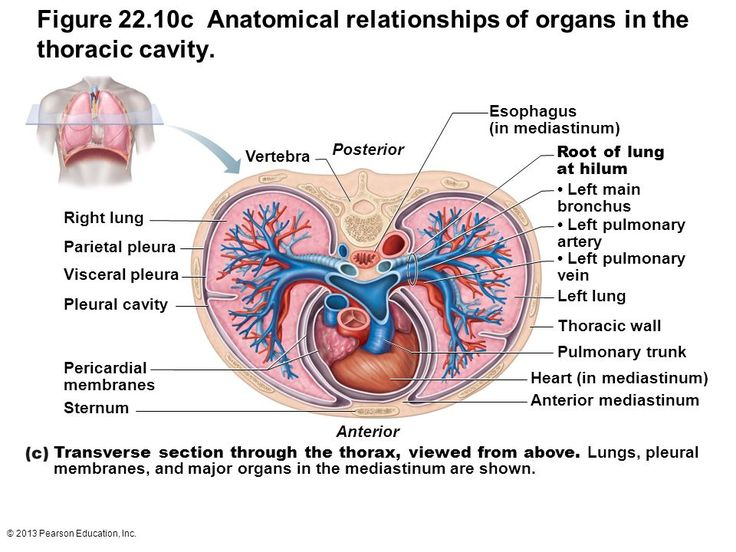 Organs in thoracic cavity marieb google search ap ii organs in thoracic cavity marieb google search ap ii pinterest thoracic cavity ccuart Images