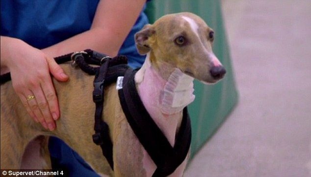 Supervet performs high risk surgery on abused rescue dog Wobble the whippet  | Daily Mail Online