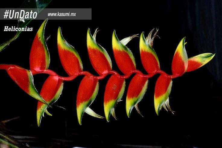 #UnDato: en el mundo existen unas 250 especies del género Heliconias de las cuales, en Colombia se encuentran 95 especies aproximadamente.