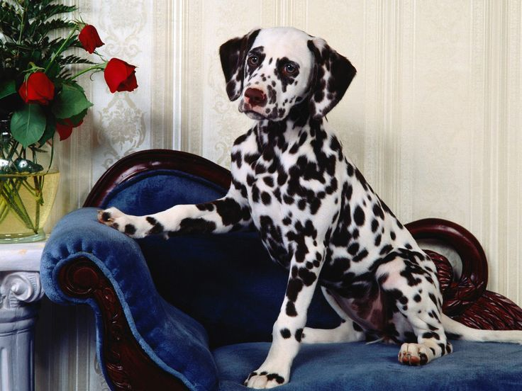 dalmatians dogs and christmas | Goog Looking Dalmation Wallpaper | Dog Wallpaper, Puppy and Photos