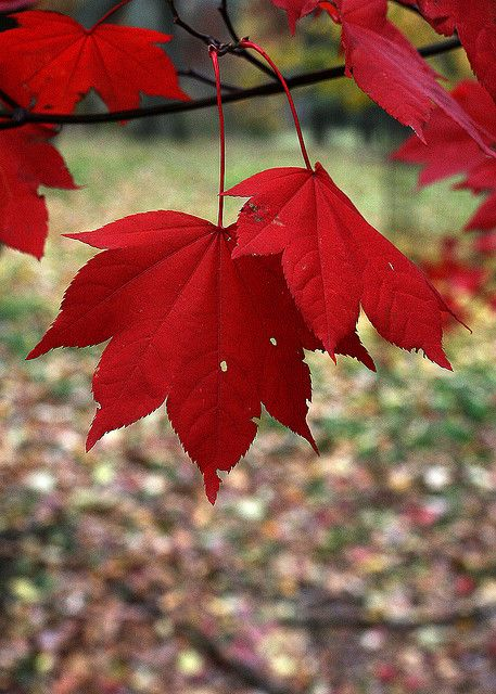 Red Leaves by bitznbitez ( was lucias_clay ), via Flickr