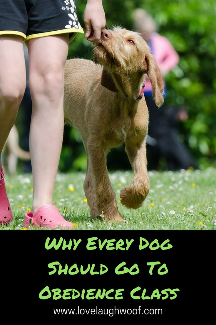 Dog obedience school or dog training classes are first and foremost about teaching humans to teach their dogs the rules of life in a human household. In most beginner obedience classes you will learn to teach your dog how to sit, come when called, look at