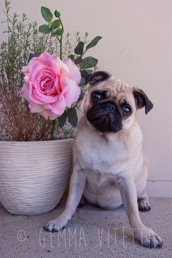 Pug Valentine's Day Photography Pug by GemVeePhotography on Etsy, $13.50