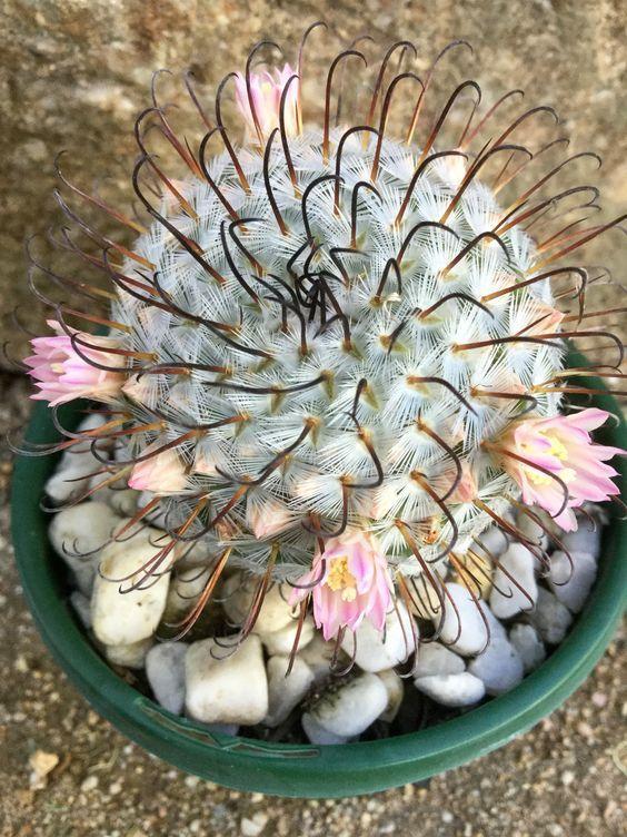Mammillaria perezdelerosae