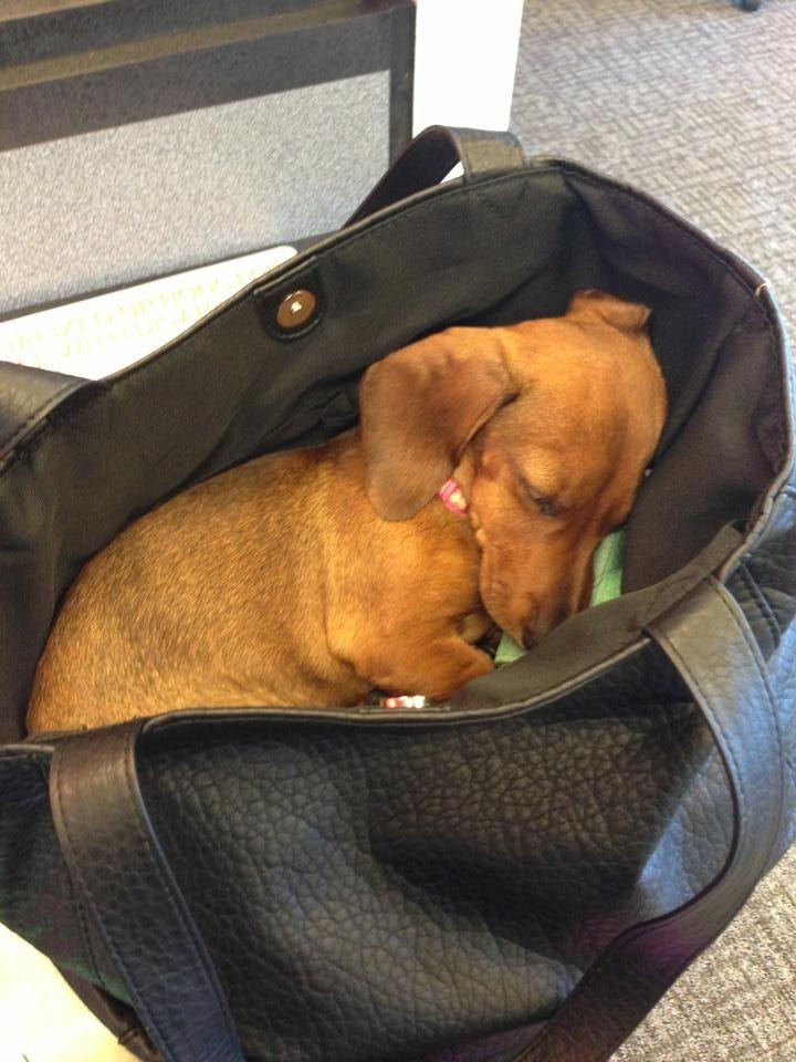 Asleep in moms purse Mini Doxie