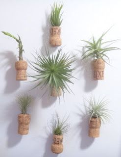 "Air plants displayed in upcycled champagne cork ""vases.""  See how I did it!"