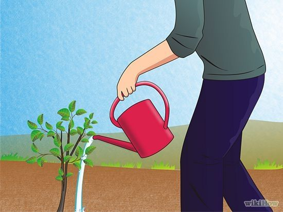 How to Grow a Pomegranate Tree: 5 Steps (with Pictures) - wikiHow