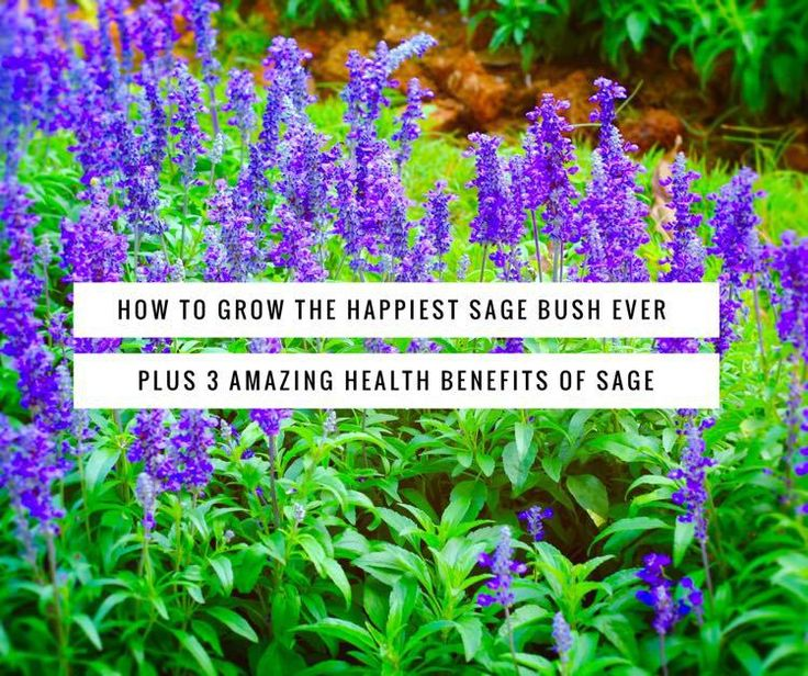 by Jodie Perry Have you ever seen a sage plant that just LOVES the spot where it grows? I'm talking about sage that grows wildly in all directions. Sage that sprouts huge, succulent leaves. Sage bu…