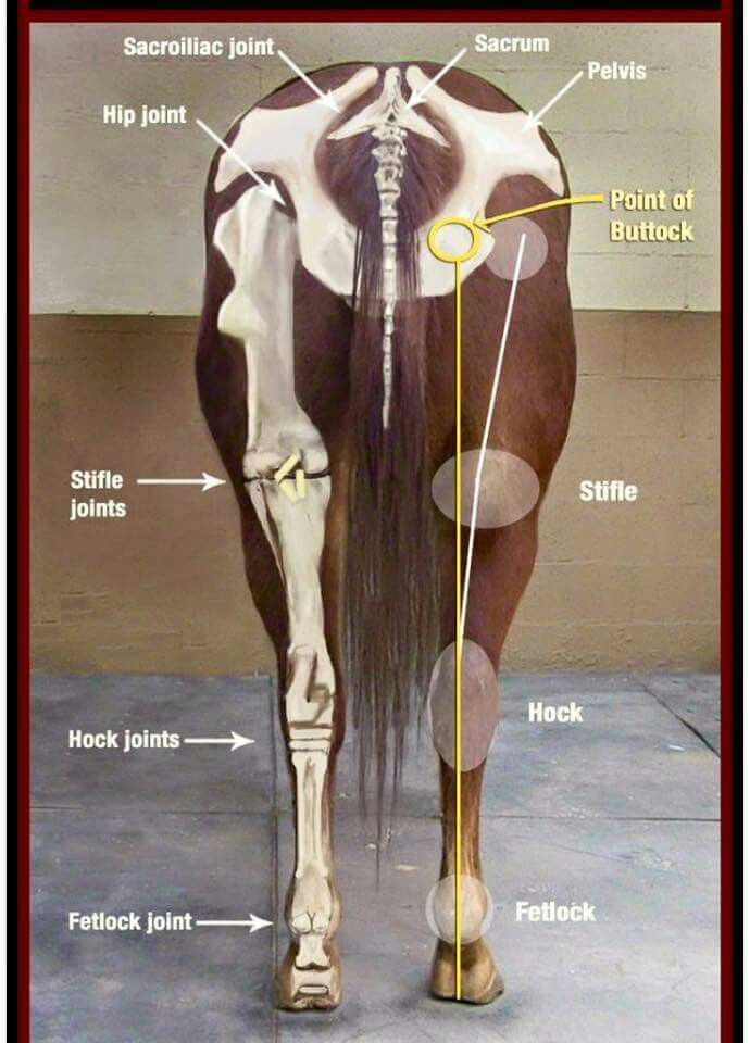 Die 13 besten Bilder zu Horse Anatomy auf Pinterest | Muskel ...