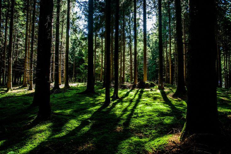 tre natur skog villmark gren anlegg sollys blad skygge grønn jungel frodige regnskog lauv lund skog habitat økosystem biome gammel skog naturlige omgivelser geografiske funksjonen woody plante temperert lauvskog temperert barskog