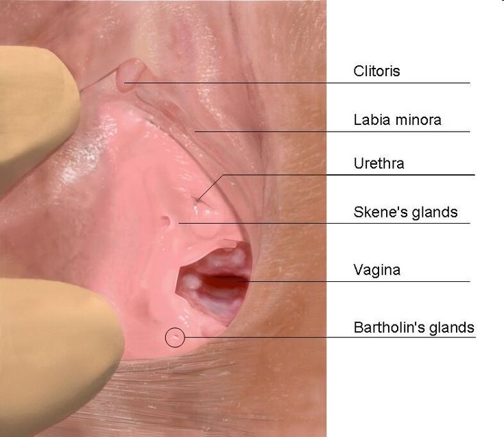 The Bartholin glands/Greater vestibular glands are two pea sized compound racemose glandslocated slightly posterior and to the left and right of the opening of the vagina. They secrete mucus to lubricate the vagina and are homologous to bulbourethral glands in males. However, while Bartholin's glands are located in the superficial perineal pouch in females, bulbourethral glands are located in the deep perineal pouch in males. Their duct length is 1.5 to 2.0 cm and open into navicular fossa.