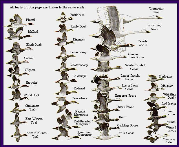 The World Of Amazing Waterfowl Birds                                                                                                                                                                                 More