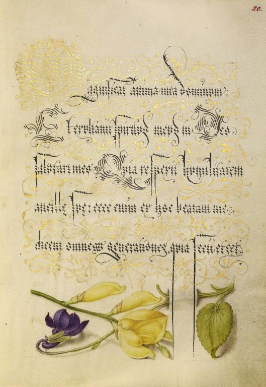 [folio 20r] Joris Hoefnagel (illuminator) [Flemish / Hungarian, 1542 - 1600], and Georg Bocskay (scribe) [Hungarian, died 1575], Sweet Violet and Spanish Broom, Flemish and Hungarian, 1561 - 1562; illumination added 1591 - 1596, Watercolors, gold and silver paint, and ink on parchment, Leaf: 16.6 x 12.4 cm (6 9/16 x 4 7/8 in.), 86.MV.527.20.