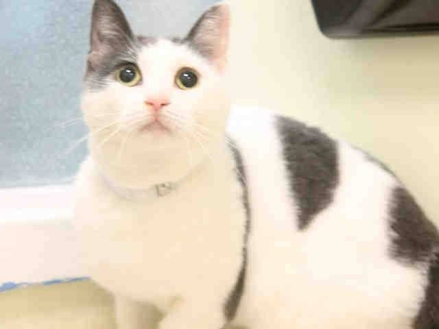 +++ SUPER #URGENT !! +++  ~~ TO BE DESTROYED Nov./2/2014 @ #Brooklyn Center #NYC #USA High- #KillShelter ~~ >> PLEASE HELP TO SAFE A LIFE BY #ADOPTION or #SPREADING THE NEWS ♡♡♡ << #WLF  My name is ADAR. My Animal ID # is A1018265. I am a female white and gray domestic sh. The shelter thinks I am about 1 YEAR 1 MONTH old.  I came in the shelter as a STRAY on 10/21/2014 from NY 11691, owner surrender reason stated was OWN EVICT. I came in with Group/Litter #K14-199214.  MOST RECENT MEDICAL…
