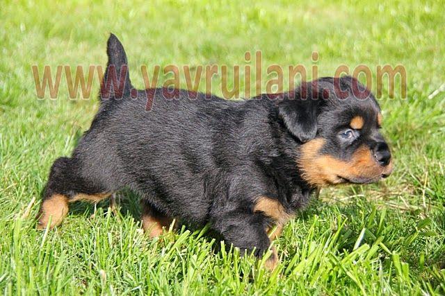 satılık rottweiler yavruları http://www.satilikyavruilani.com/2015/01/satilik-rottweiler-yavrulari_23.html