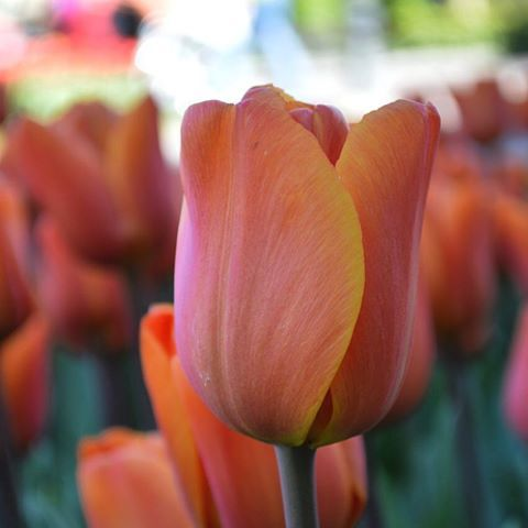 Today we post this nice orange tulip 'Annie Schilder' to congratulate Denver Broncos with their third SuperBowl win.  #tulip #orange #superbowl50 #denverbroncos #congrats #winner #flowers #orange #dutchgrown