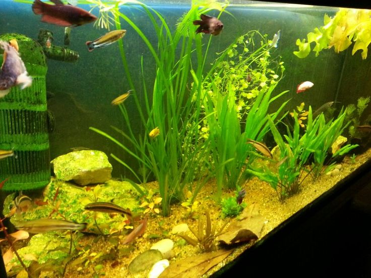 My 45 Gallon Female Betta Sorority Tank. Betta FishFreshwater FishAquarium  IdeasFresh ...